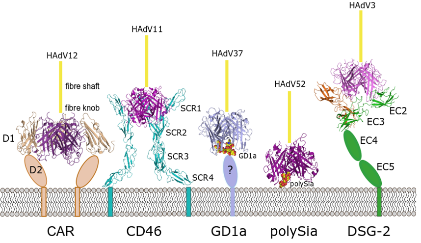 HAdV Attachment Receptors for which we have structural data on binding with the virus. Five different structures, all attached to the cell memberane from the outer side. The viral protein remains very similar in all five cases, but the proteins take very different shapes. The sugars are much smaller than the proteins.